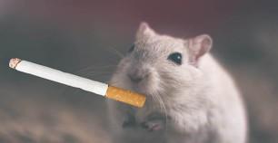 smoking-rodent-rsz